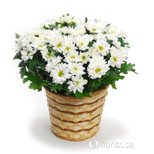 Seasonal Potted Daisy Plant