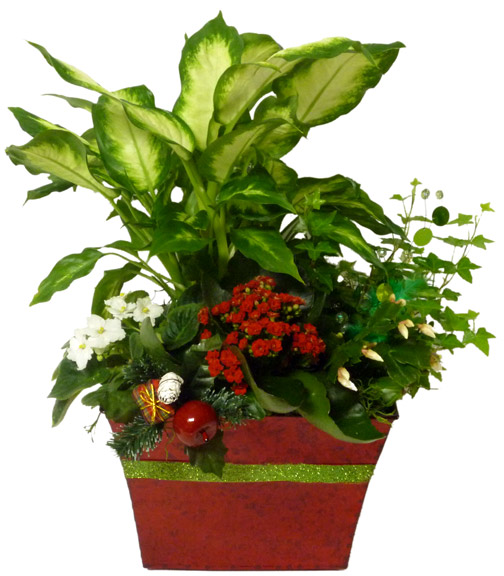 The Yuletide Cheer Plant
